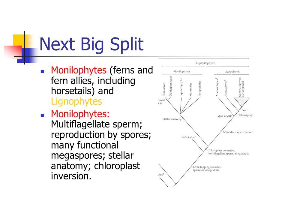 Tracheophyte Evolution. Origin Big split between Lycophyte lineage ...
