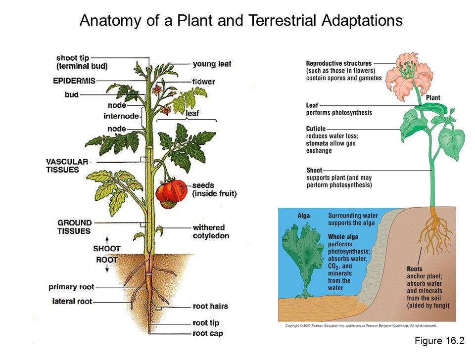 Plants Fungi And The Move Onto Land Chapter 16 Plants O