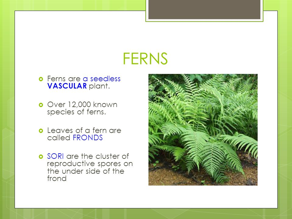 FERNS  Ferns are a seedless VASCULAR plant.  Over 12,000 known species of ferns.