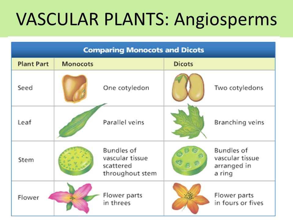 VASCULAR PLANTS: Angiosperms
