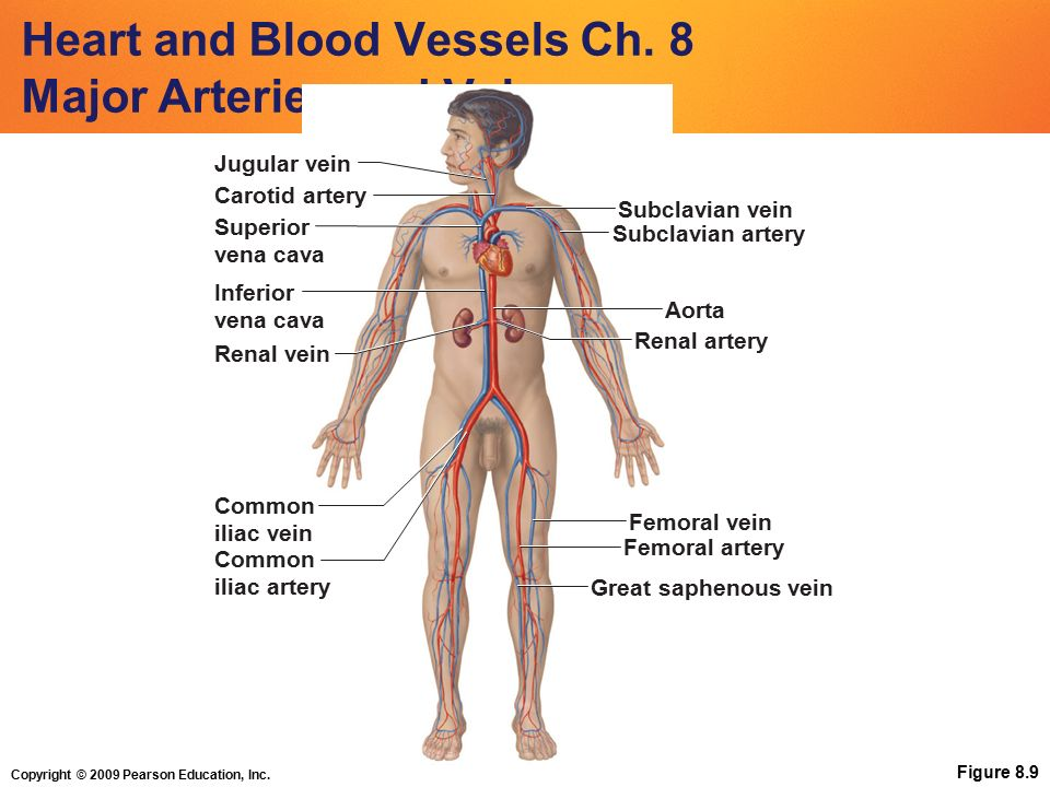 Copyright 2009 Pearson Education Inc Heart And Blood Vessels Ch