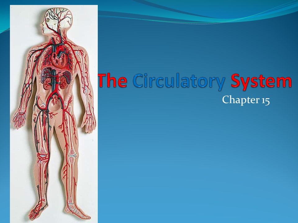 Chapter 15. The Cardiorespiratory System Includes function of the ...
