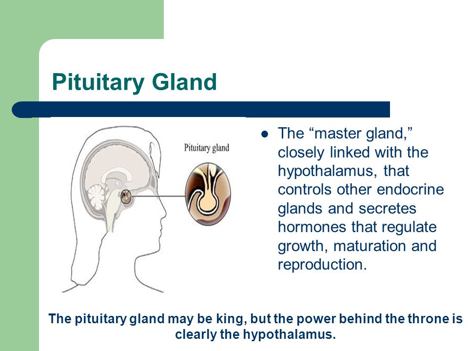 Pituitary Gland The master gland, closely linked with the hypothalamus, that controls other endocrine glands and secretes hormones that regulate growth, maturation and reproduction.