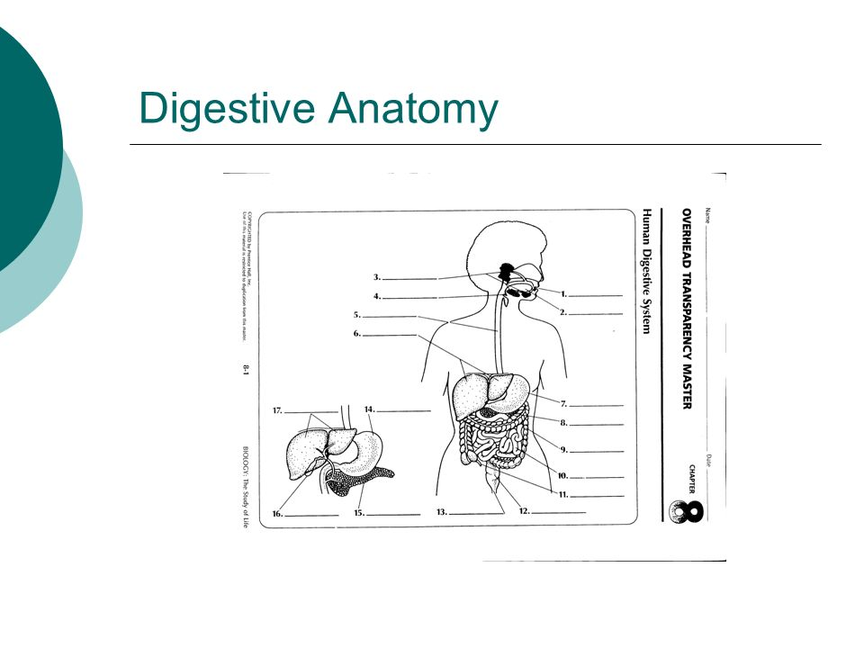 """Human Digestion """"Who has the Guts?"""". Swallowing Digestive Anatomy ..."""