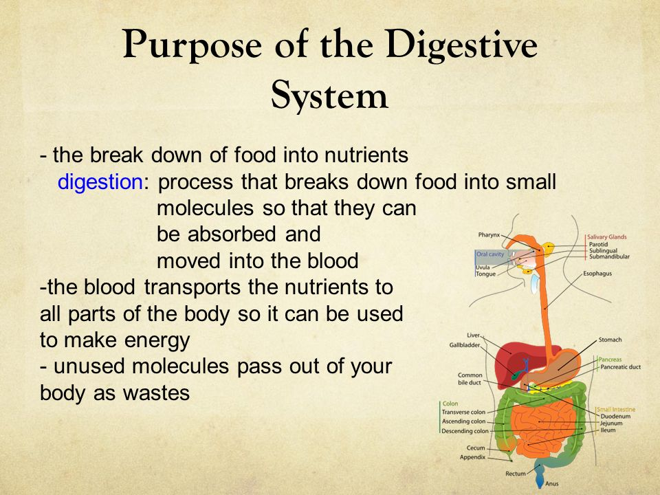 Purpose Of The Digestive System The Break Down Of Food Into
