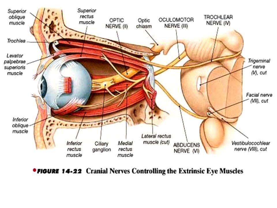 Cranial Nerves: I & II I. Olfactory -- sensory (smell) - ppt video ...
