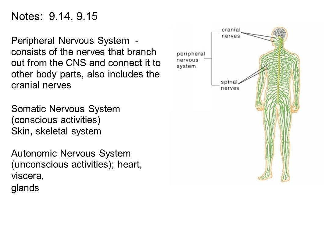 Notes: 9.14, 9.15 Peripheral Nervous System - consists of the nerves ...