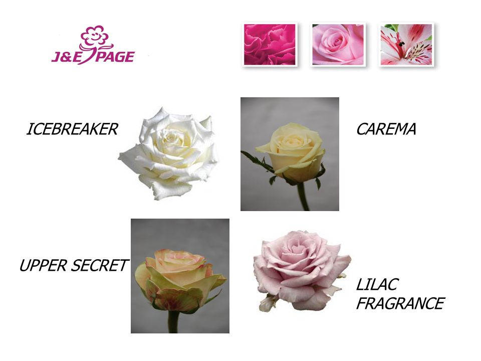 If You Are Looking For Good Quality Roses At Excellent Prices For