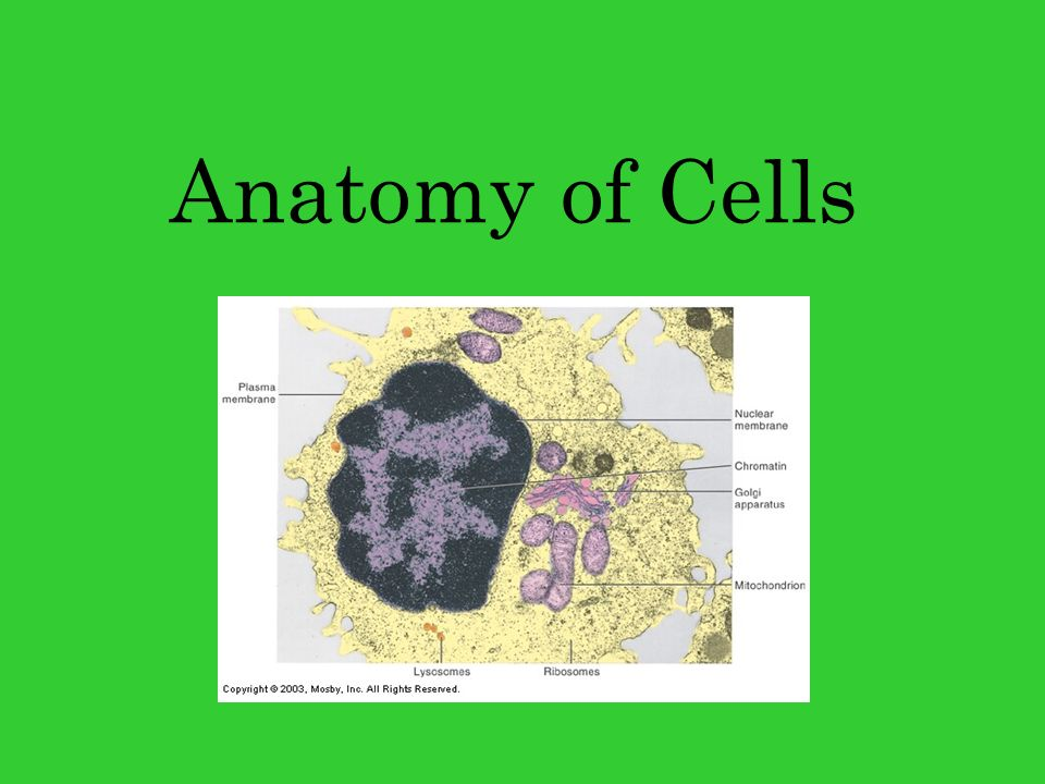 """Anatomy of Cells. """"Typical"""" Cell """"Typical"""" Cell vs. Reality """"Typical ..."""
