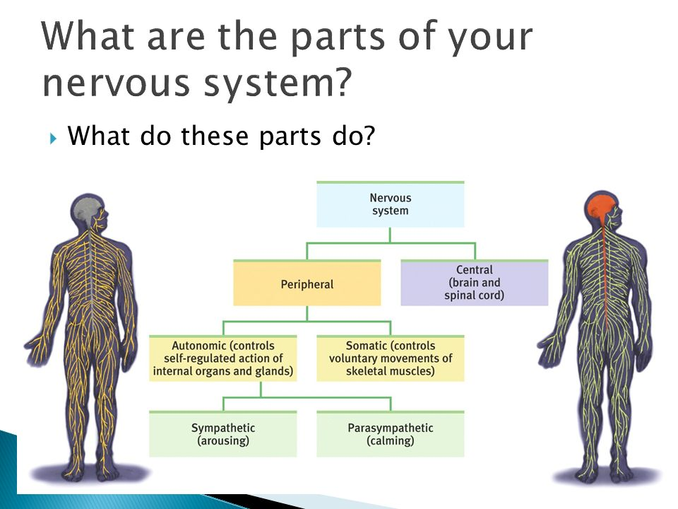  What do these parts do 11 What are the parts of your nervous system