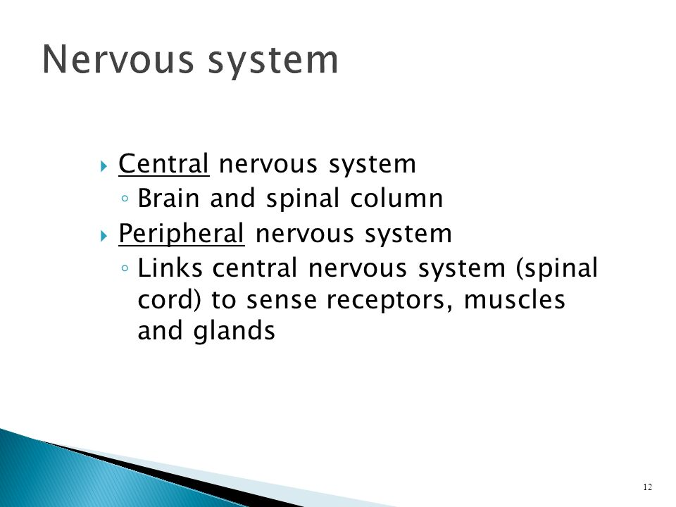  Central nervous system ◦ Brain and spinal column  Peripheral nervous system ◦ Links central nervous system (spinal cord) to sense receptors, muscles and glands 12 Nervous system