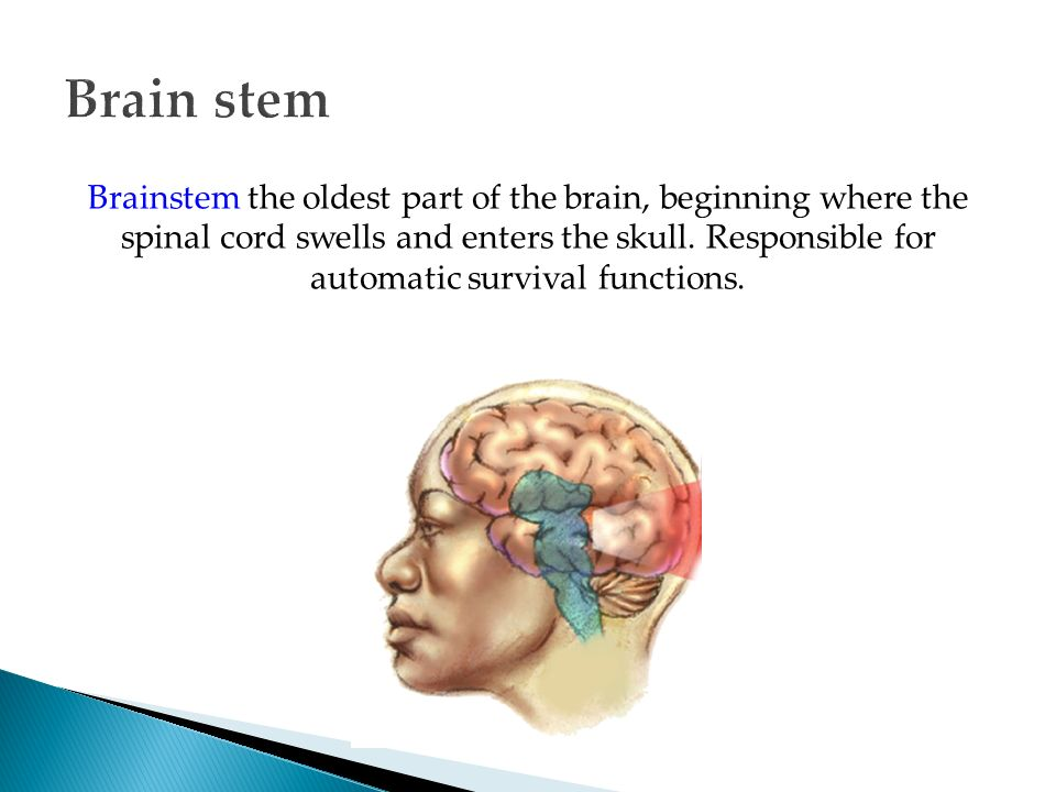 Brain stem Brainstem the oldest part of the brain, beginning where the spinal cord swells and enters the skull.