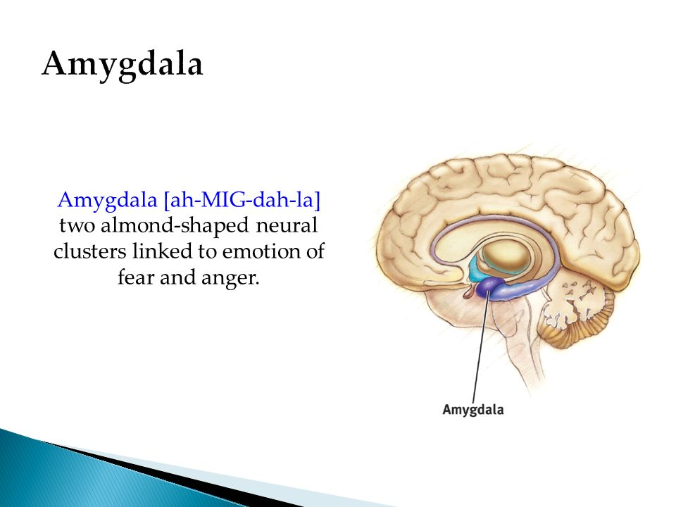 Amygdala Amygdala [ah-MIG-dah-la] two almond-shaped neural clusters linked to emotion of fear and anger.