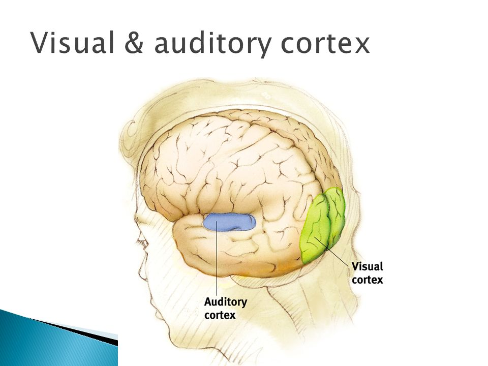 Visual & auditory cortex