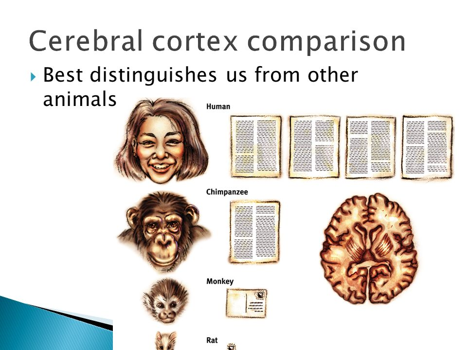 Cerebral cortex comparison  Best distinguishes us from other animals