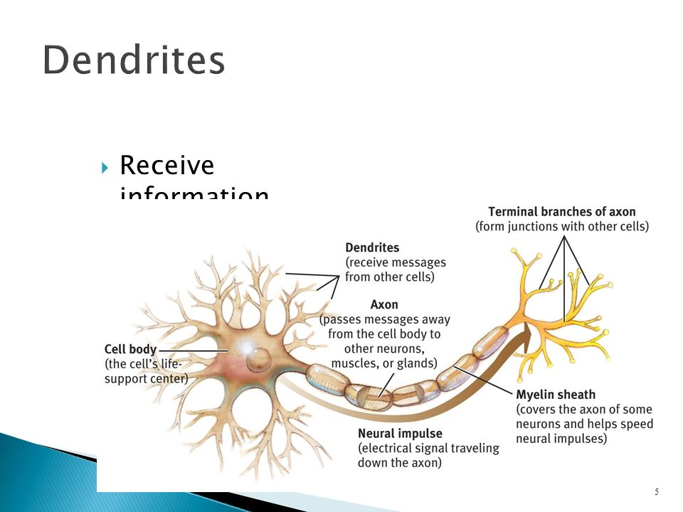  Receive information 5 Dendrites