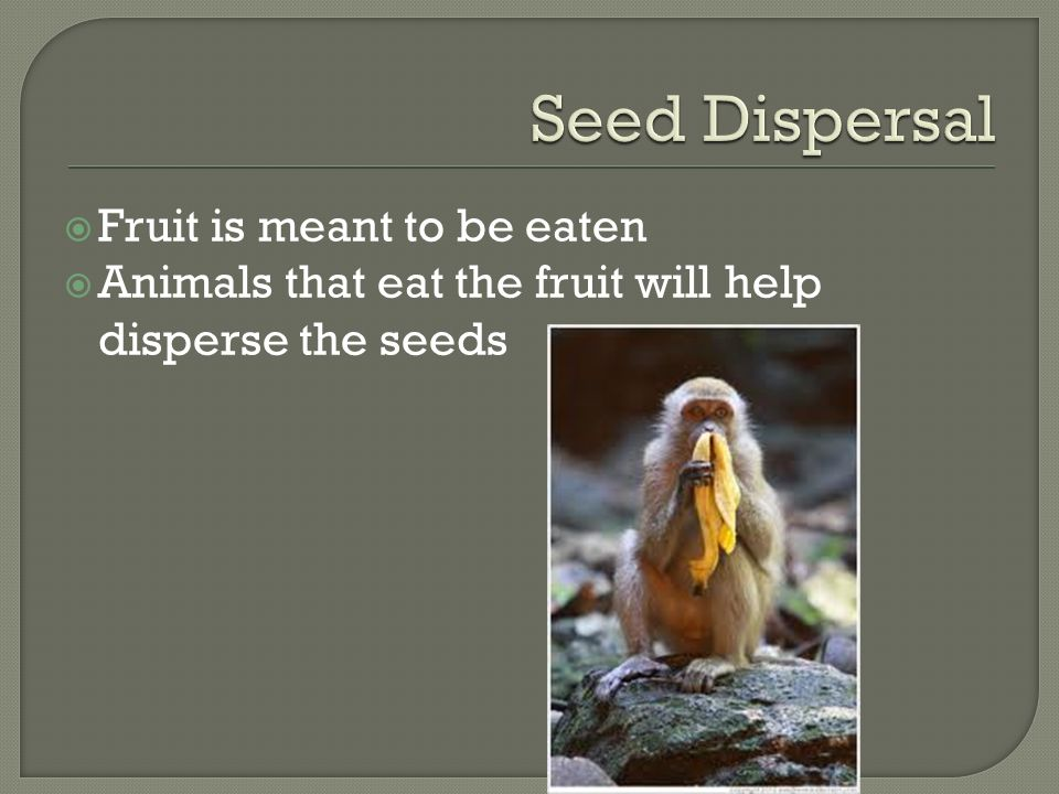  Fruit is meant to be eaten  Animals that eat the fruit will help disperse the seeds