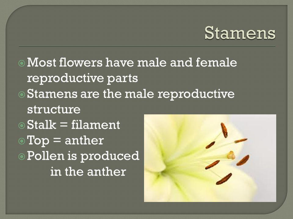  Most flowers have male and female reproductive parts  Stamens are the male reproductive structure  Stalk = filament  Top = anther  Pollen is produced in the anther