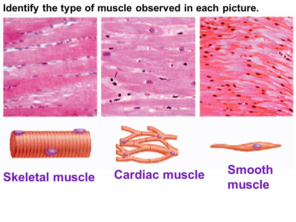 Skeletal Muscular And Immune Systems Review The Process In Which