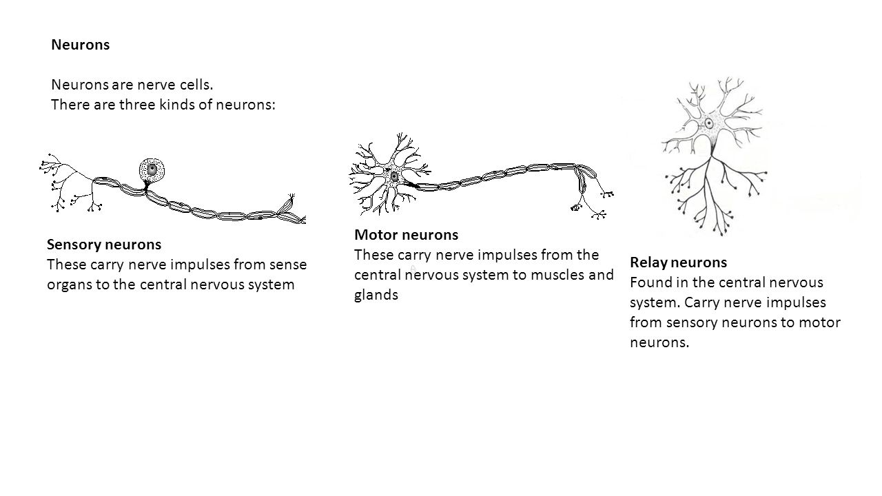 ... the central nervous system. Carry nerve impulses from sensory neurons to motor neurons. Neurons Neurons are nerve cells.