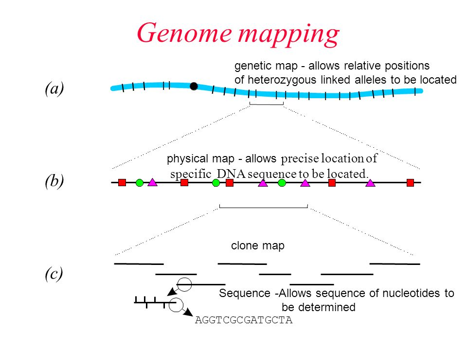 Genome mapping. Techniques Used in the Genome Project 1 ... on