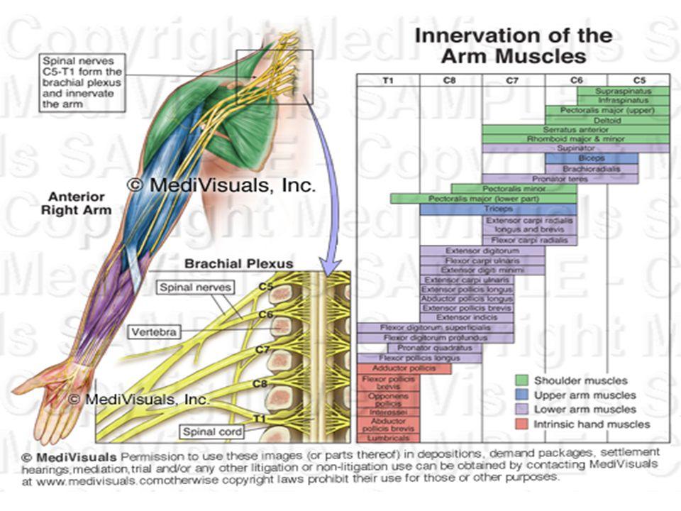 Famous Anatomy Brachial Plexus Inspiration Anatomy And Physiology