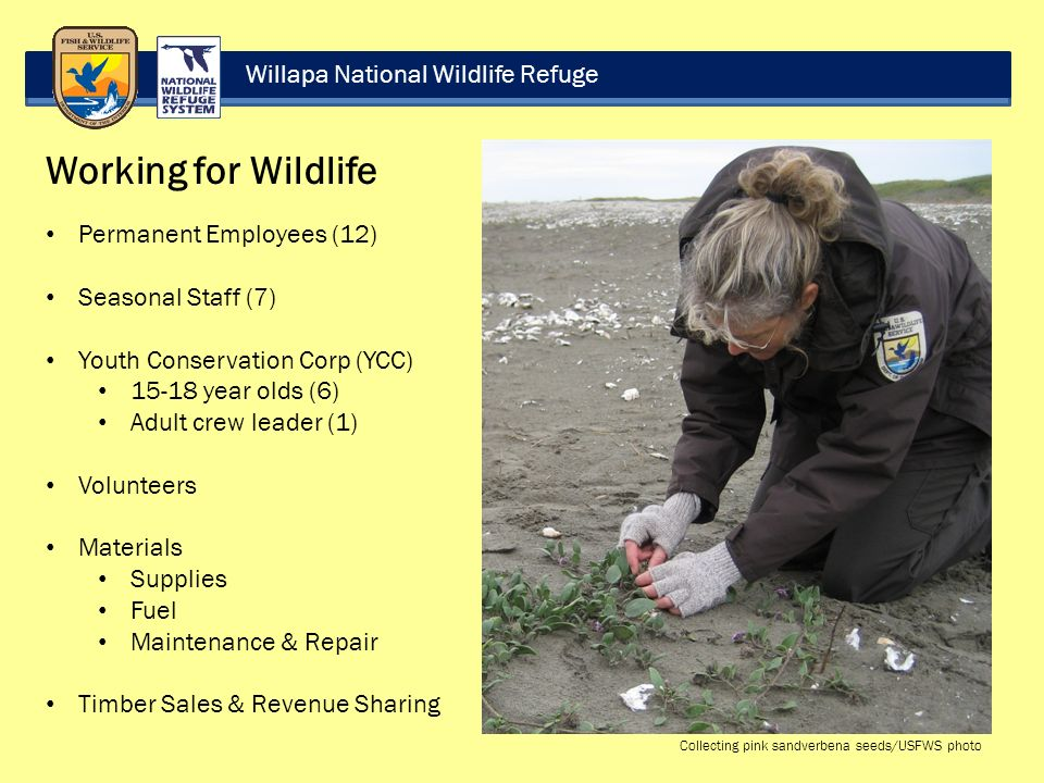 Willapa National Wildlife Refuge Working for Wildlife Permanent Employees (12) Seasonal Staff (7) Youth Conservation Corp (YCC) year olds (6) Adult crew leader (1) Volunteers Materials Supplies Fuel Maintenance & Repair Timber Sales & Revenue Sharing Collecting pink sandverbena seeds/USFWS photo