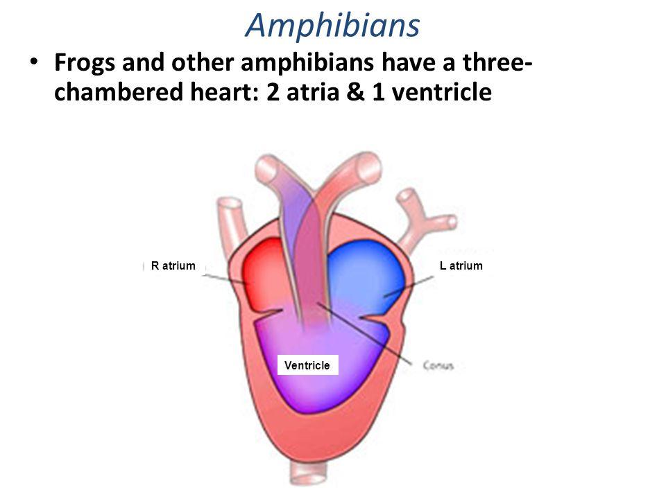 Three Chambered Heart Diagram - Online Schematic Diagram •