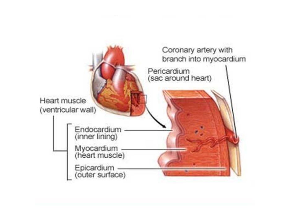 Heart diagram pericardium endocardium search for wiring diagrams heart diagram pericardium endocardium images gallery ccuart Choice Image