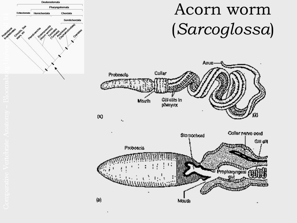 Comparative Vertebrate Anatomy – Bloomsburg University Fall 04 ...