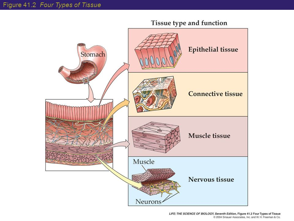 Stomach Tissues Types Diagram Data Wiring Diagrams