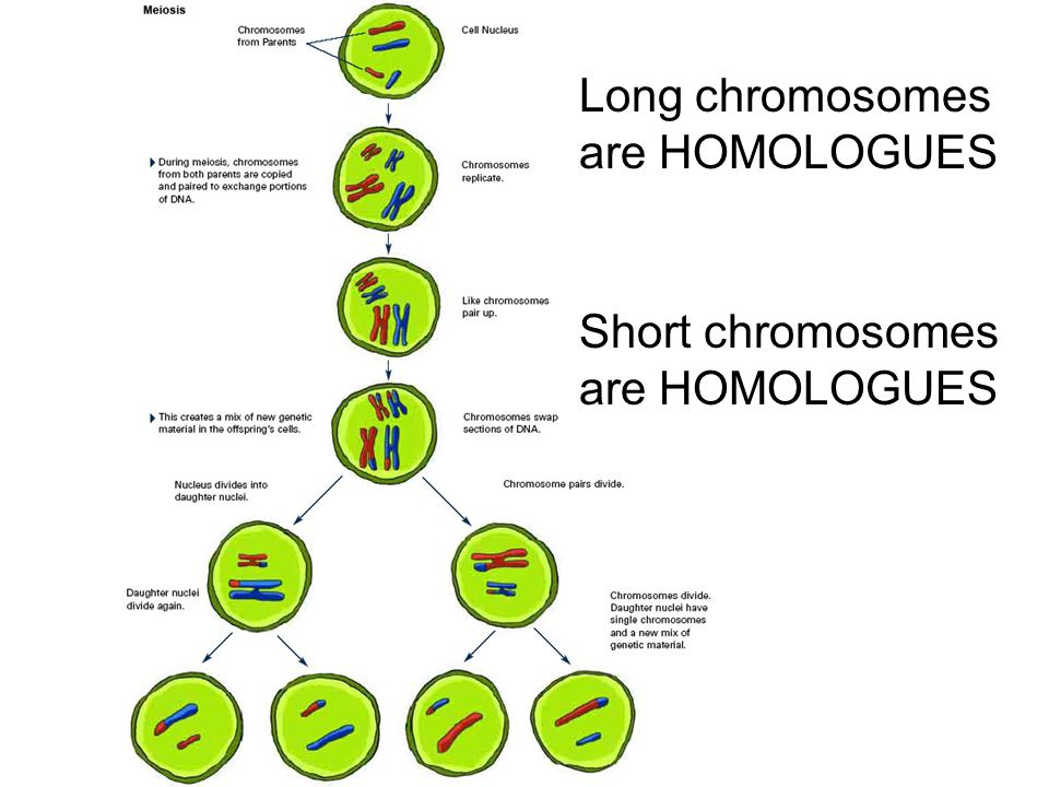 Long chromosomes are HOMOLOGUES Short chromosomes are HOMOLOGUES