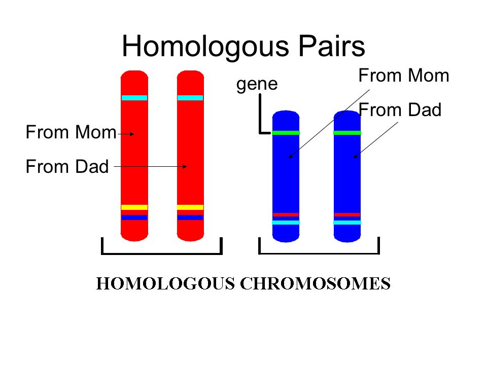 Homologous Pairs gene From Mom From Dad From Mom From Dad