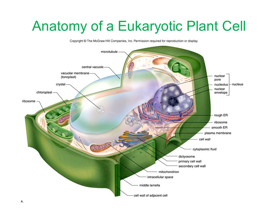 Plant Cells. The Body\'s Organization Each level represents a ...