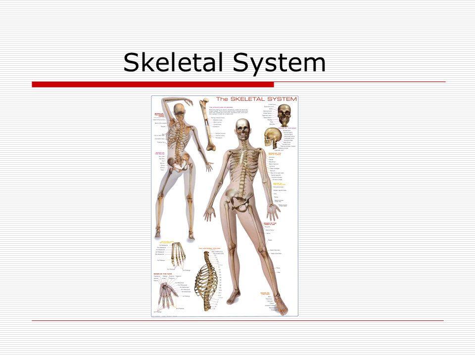 Skeletal System. Bones The skeleton has two major parts: 1.Axial ...