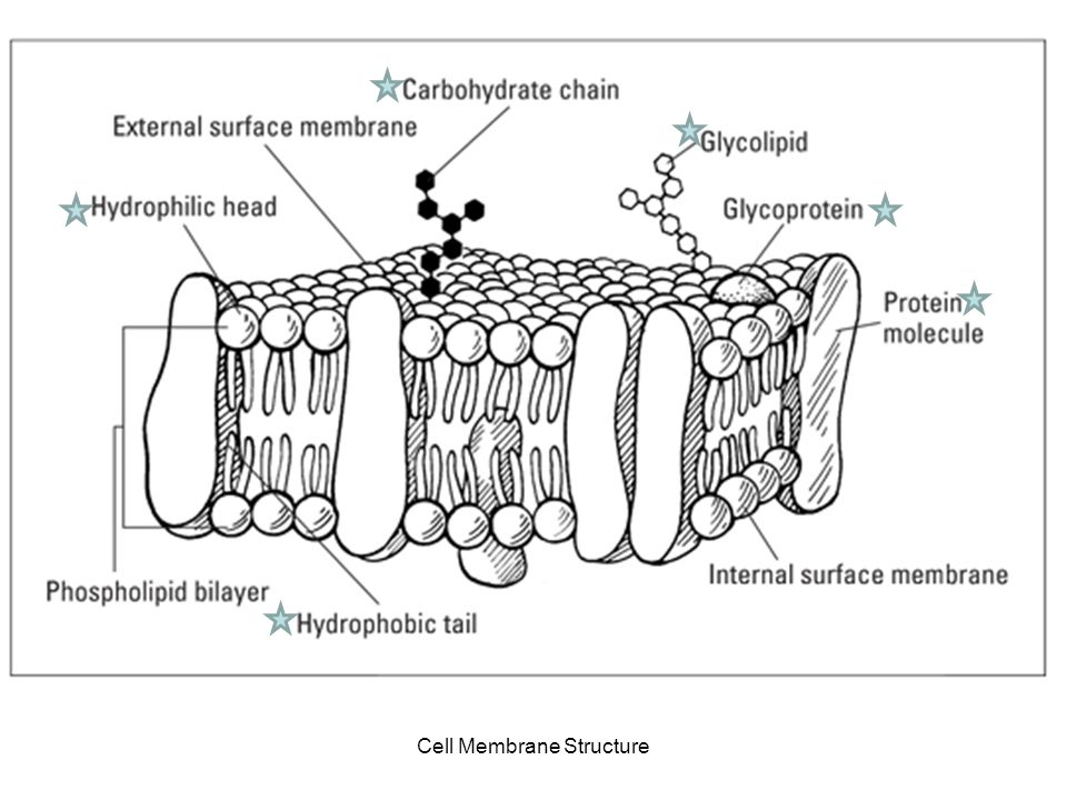 Cell Membrane Cell Membrane Structure Cell Boundaries Liquid
