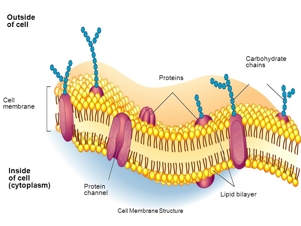 Cell membrane cell membrane structure cell boundaries liquid 9 outside of cell inside of cell cytoplasm cell membrane proteins protein channel lipid bilayer carbohydrate chains section 7 3 figure 7 12 the structure ccuart Images
