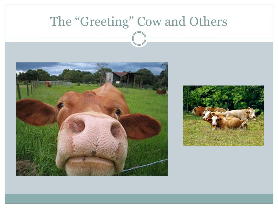 The Greeting Cow and Others