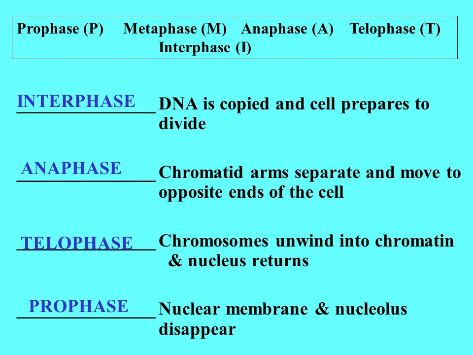 _______________DNA is copied and cell prepares to divide _______________Chromatid arms separate and move to opposite ends of the cell _______________Chromosomes unwind into chromatin & nucleus returns _______________Nuclear membrane & nucleolus disappear INTERPHASE ANAPHASE TELOPHASE PROPHASE Prophase (P) Metaphase (M) Anaphase (A) Telophase (T) Interphase (I)