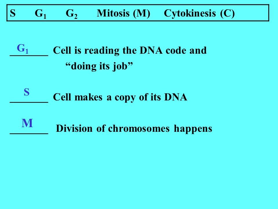 _______ Cell is reading the DNA code and doing its job _______ Cell makes a copy of its DNA _______ Division of chromosomes happens G1G1 S S G 1 G 2 Mitosis (M) Cytokinesis (C) M