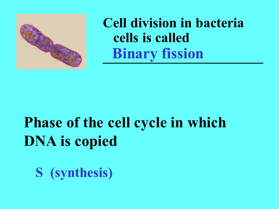 Cell division in bacteria cells is called _______________________ Binary fission Phase of the cell cycle in which DNA is copied S (synthesis)