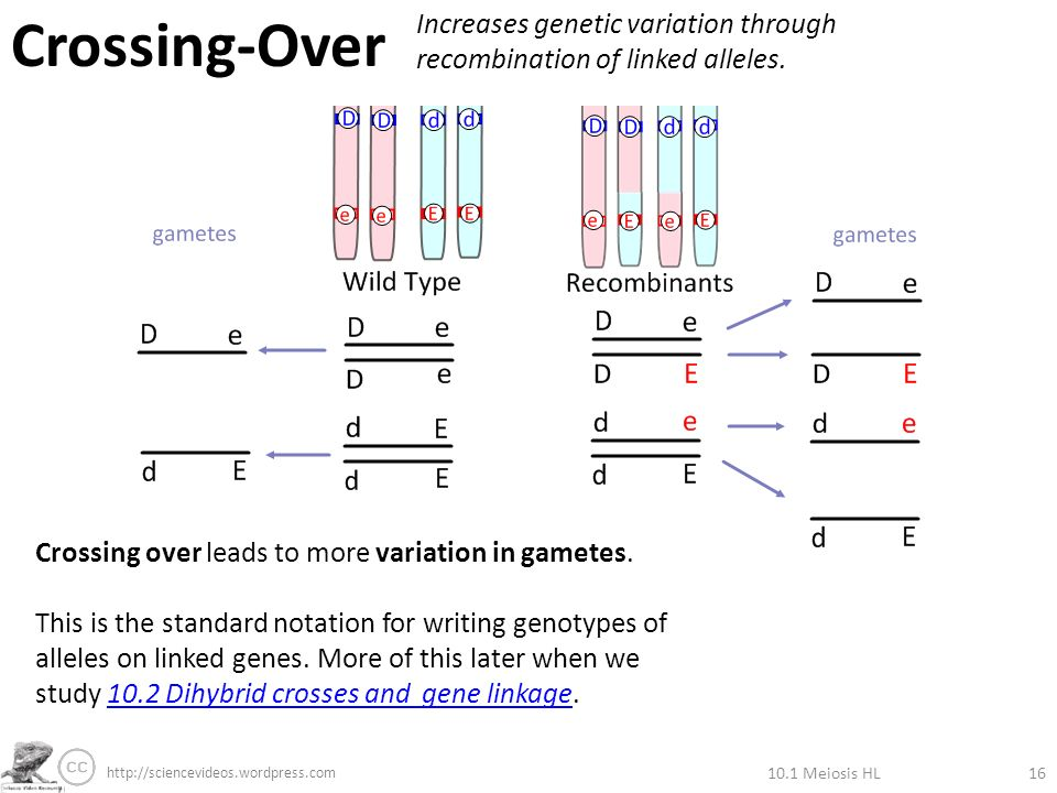 101 meiosis hl1 ppt download meiosis hl16 crossing over increases genetic variation through recombination of linked alleles ccuart Image collections