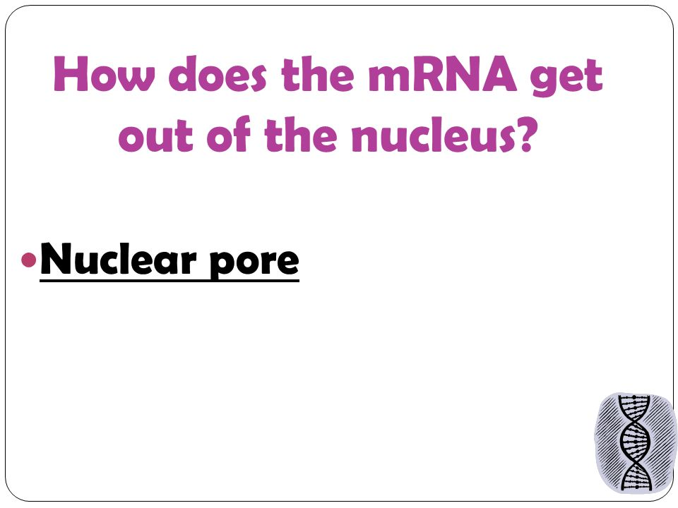 How does the mRNA get out of the nucleus Nuclear pore