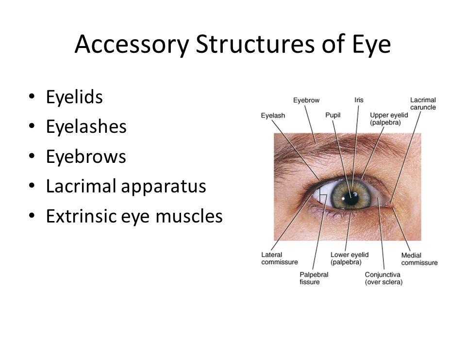 Senses: Vision Ch Accessory Structures of Eye Eyelids Eyelashes ...