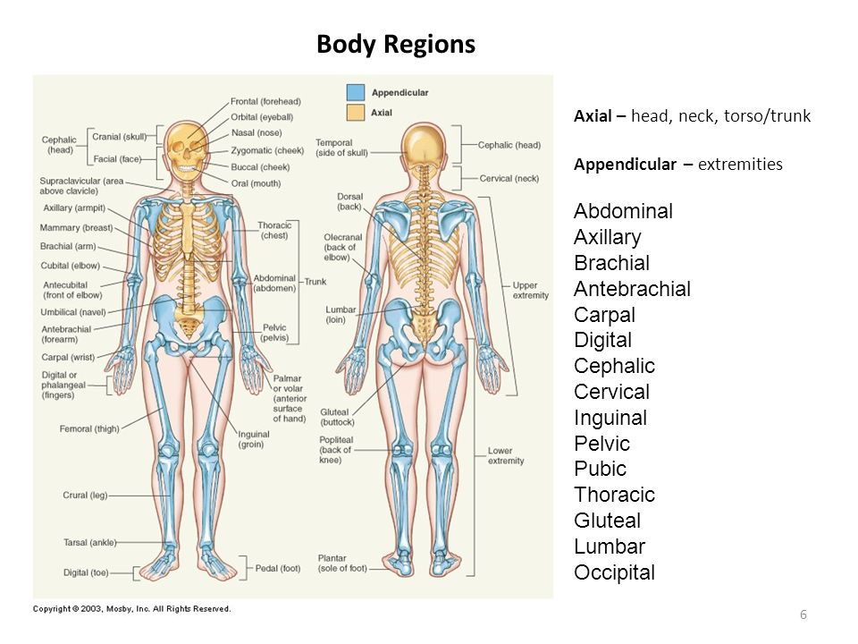 1 Organization Of The Body Chapter 1 Anatomy Physiology Ms Roden