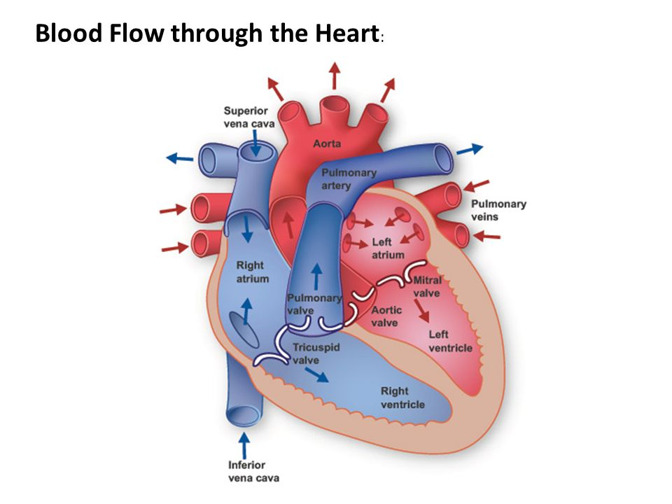 Blood Flow through the Heart :