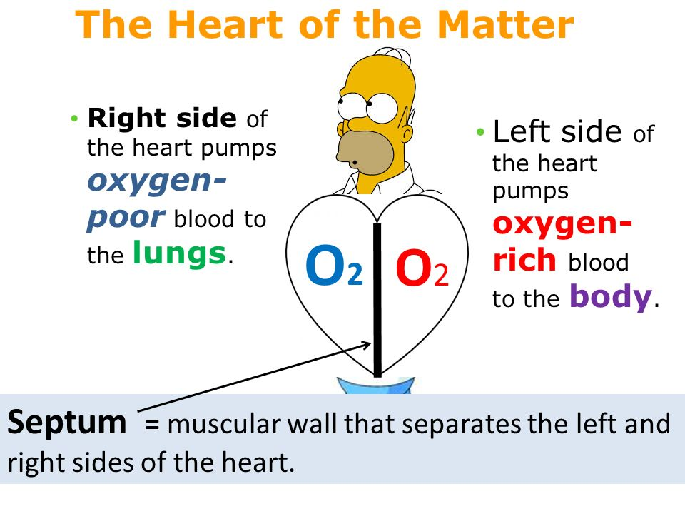 O2O2 O2O2 Septum = muscular wall that separates the left and right sides of the heart.