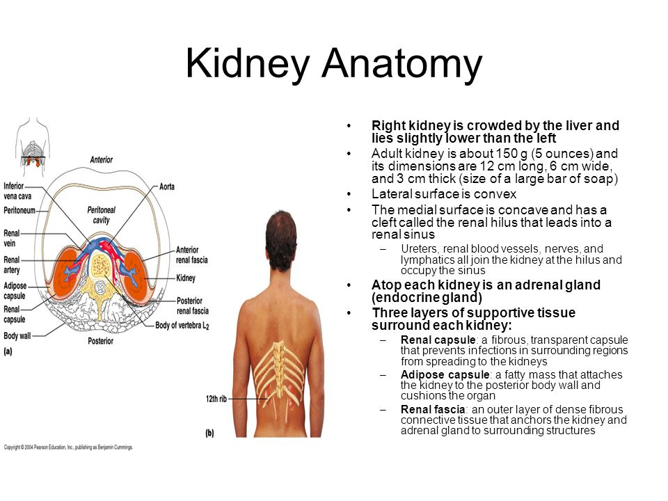 The Urinary System Every Day The Kidneys Filter Nearly 200 Liters