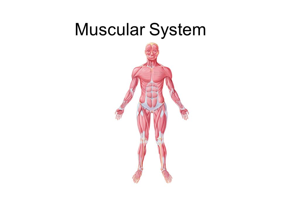 Muscular System Major Functions There Are Over 600 Muscles In The