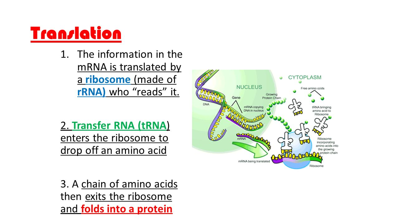 Translation 1.The information in the mRNA is translated by a ribosome (made of rRNA) who reads it.